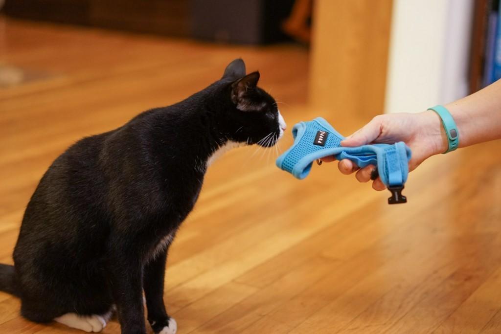 Как правильно гулять с кошкой на поводке